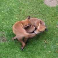 Wordless Wednesday Post July 15 - I love foxes